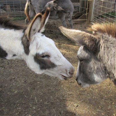 The Life of Miniature Donkeys at Tollen Farm, Oregon
